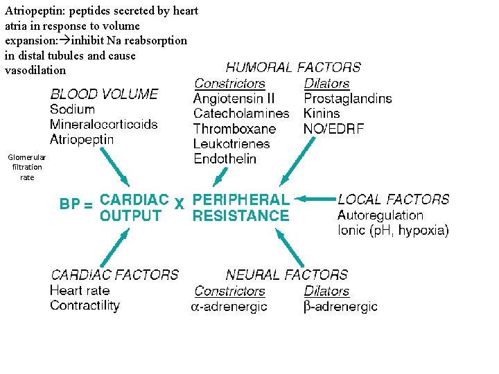 Atriopeptin: peptides secreted by heart atria in response to volume expansion: inhibit Na reabsorption