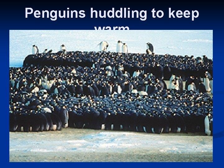 Penguins huddling to keep warm