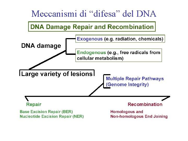 """Meccanismi di """"difesa"""" del DNA"""