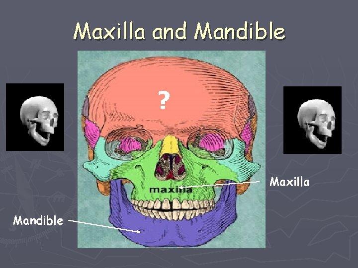 Maxilla and Mandible ? Maxilla Mandible