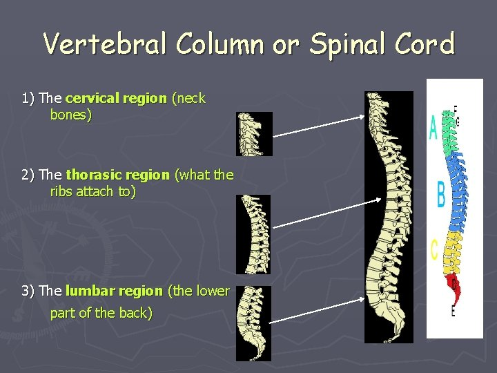 Vertebral Column or Spinal Cord 1) The cervical region (neck bones) 2) The thorasic