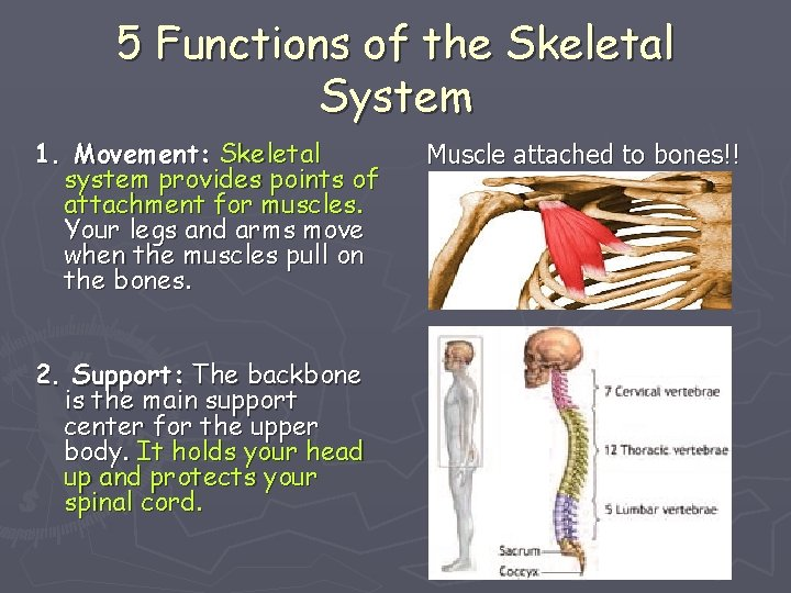 5 Functions of the Skeletal System 1. Movement: Skeletal system provides points of attachment