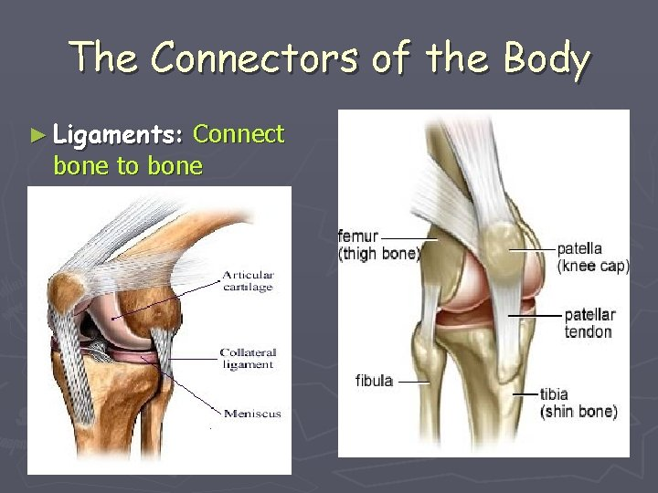 The Connectors of the Body ► Ligaments: Connect bone to bone