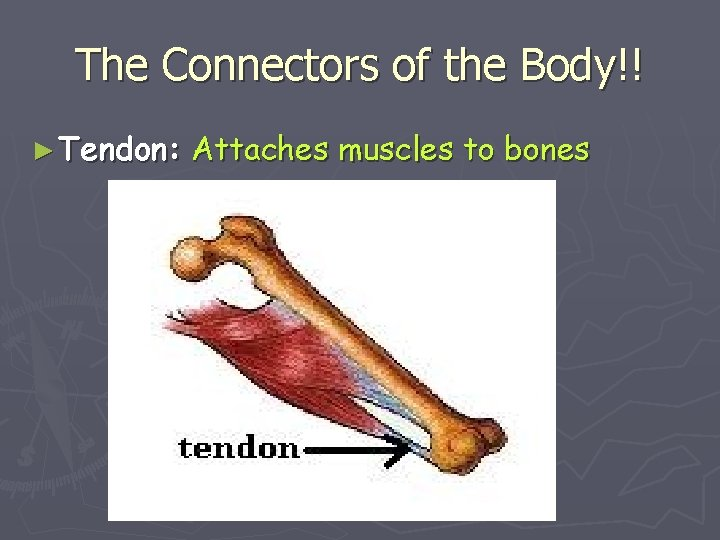 The Connectors of the Body!! ► Tendon: Attaches muscles to bones