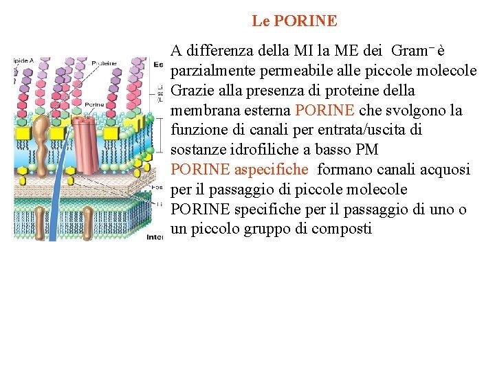 Le PORINE A differenza della MI la ME dei Gram– è parzialmente permeabile alle