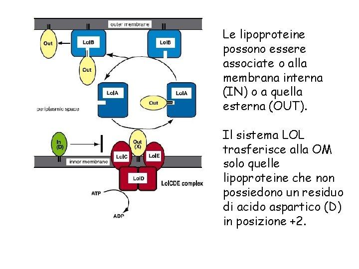 Le lipoproteine possono essere associate o alla membrana interna (IN) o a quella esterna
