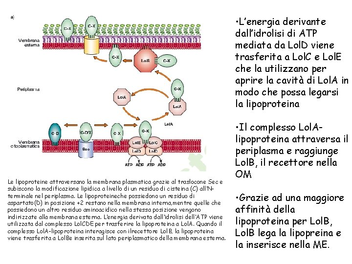 • L'energia derivante dall'idrolisi di ATP mediata da Lol. D viene trasferita a