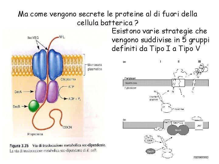 Ma come vengono secrete le proteine al di fuori della cellula batterica ? Esistono