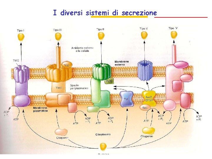 I diversi sistemi di secrezione Sec indipendente Sec dipendenti Sec indipendenti