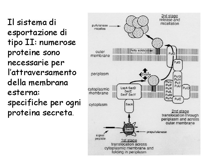 Il sistema di esportazione di tipo II: numerose proteine sono necessarie per l'attraversamento della
