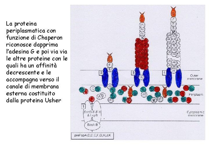 La proteina periplasmatica con funzione di Chaperon riconosce dapprima l'adesina G e poi via
