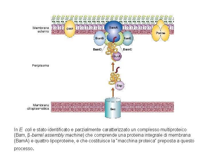 In E. coli e stato identificato e parzialmente caratterizzato un complesso multiproteico (Bam, β-barrel