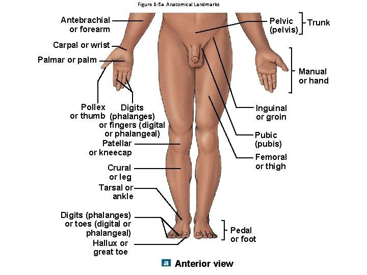 Figure 1 -5 a Anatomical Landmarks Antebrachial or forearm Pelvic (pelvis) Trunk Carpal or
