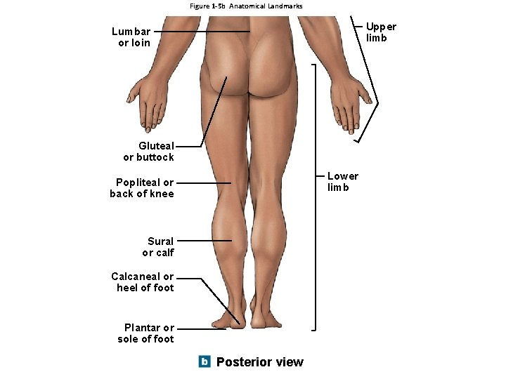 Figure 1 -5 b Anatomical Landmarks Upper limb Lumbar or loin Gluteal or buttock