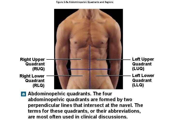 Figure 1 -6 a Abdominopelvic Quadrants and Regions Right Upper Quadrant (RUQ) Left Upper