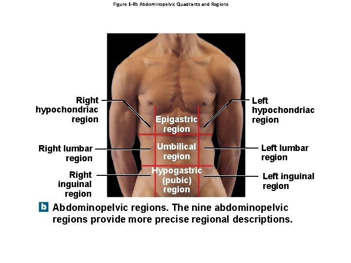 Figure 1 -6 b Abdominopelvic Quadrants and Regions Right hypochondriac region Right lumbar region