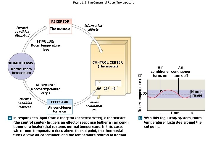Figure 1 -2 The Control of Room Temperature RECEPTOR Normal condition disturbed Thermometer Information