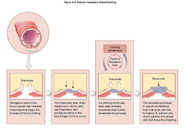 Figure 1 -4 Positive Feedback: Blood Clotting accelerates Positive feedback loop Chemicals Damage to