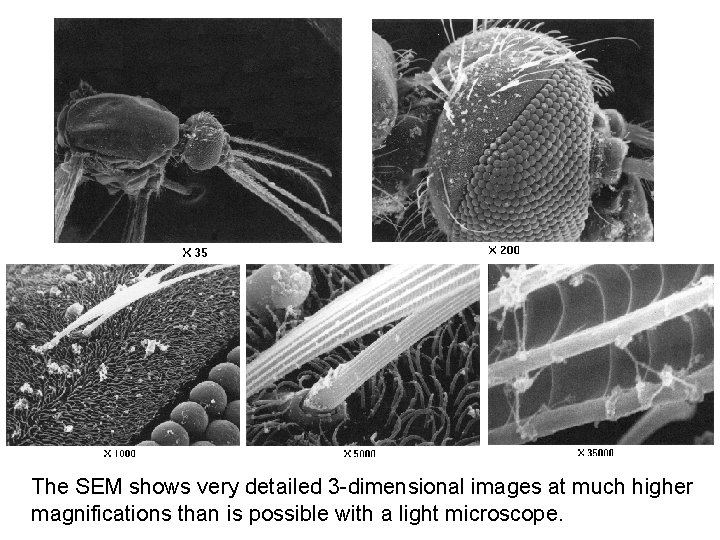 The SEM shows very detailed 3 -dimensional images at much higher magnifications than is