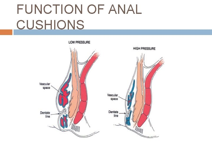 FUNCTION OF ANAL CUSHIONS