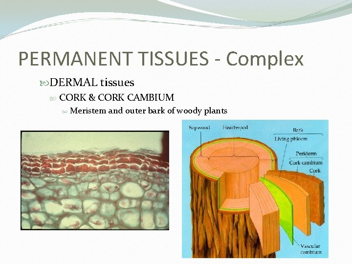 PERMANENT TISSUES - Complex DERMAL tissues CORK & CORK CAMBIUM Meristem and outer bark