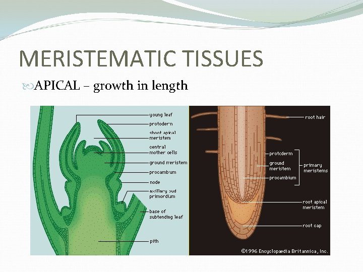 MERISTEMATIC TISSUES APICAL – growth in length