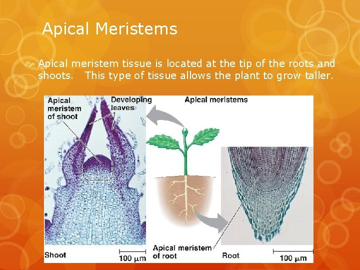 Apical Meristems Apical meristem tissue is located at the tip of the roots and