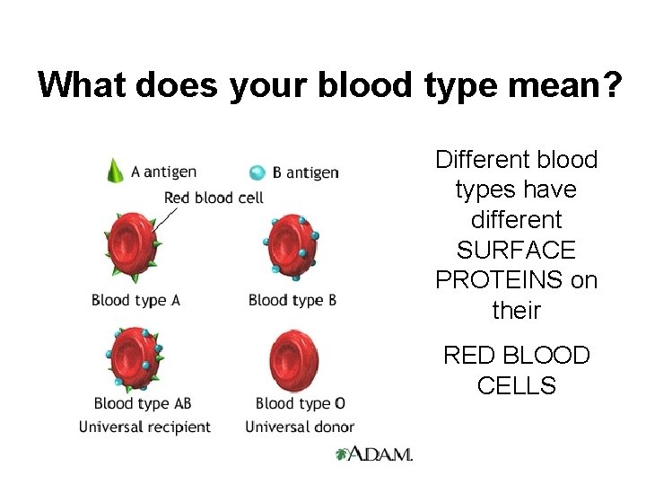 What does your blood type mean? Different blood types have different SURFACE PROTEINS on