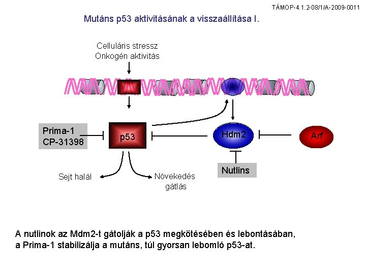 TÁMOP-4. 1. 2 -08/1/A-2009 -0011 Mutáns p 53 aktivitásának a visszaállítása I. Celluláris stressz