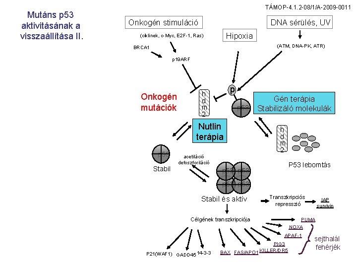 Mutáns p 53 aktivitásának a visszaállítása II. TÁMOP-4. 1. 2 -08/1/A-2009 -0011 DNA sérülés,