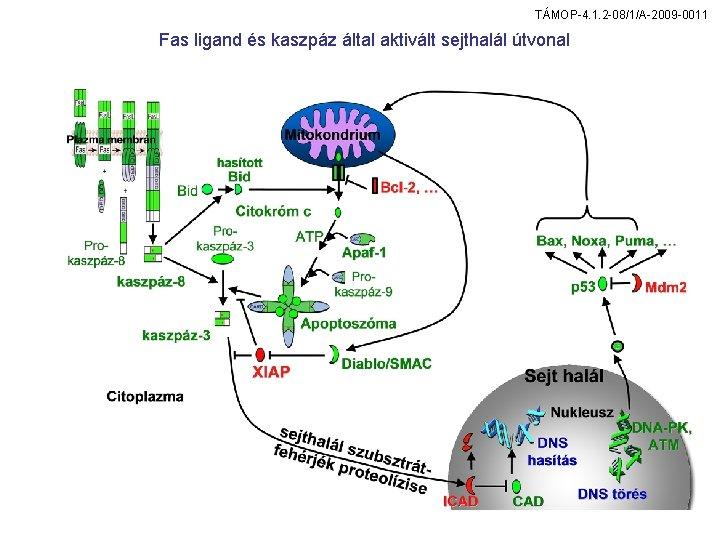 TÁMOP-4. 1. 2 -08/1/A-2009 -0011 Fas ligand és kaszpáz által aktivált sejthalál útvonal