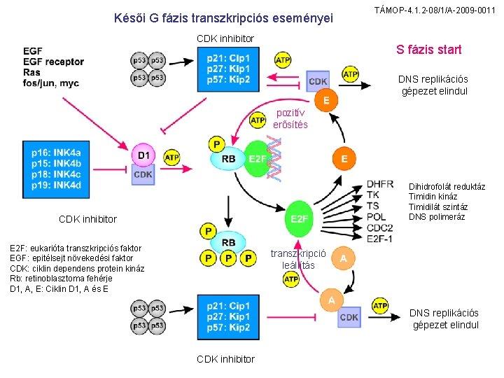 Késői G fázis transzkripciós eseményei CDK inhibitor TÁMOP-4. 1. 2 -08/1/A-2009 -0011 S fázis