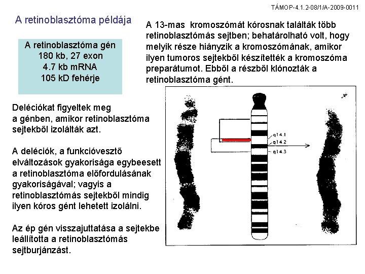 TÁMOP-4. 1. 2 -08/1/A-2009 -0011 A retinoblasztóma példája A retinoblasztóma gén 180 kb, 27