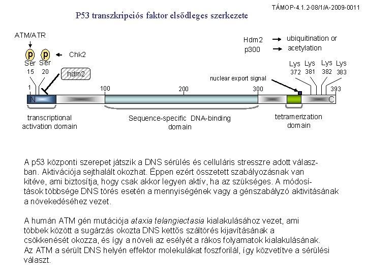 TÁMOP-4. 1. 2 -08/1/A-2009 -0011 P 53 transzkripciós faktor elsődleges szerkezete ATM/ATR p p