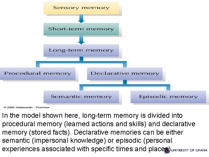 In the model shown here, long-term memory is divided into procedural memory (learned actions