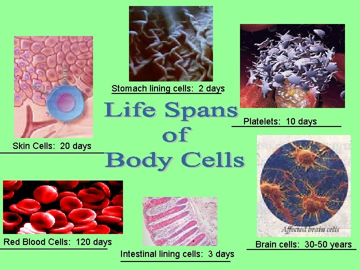 Stomach lining cells: 2 days ___________ Platelets: 10 days ___________ Skin Cells: 20 days