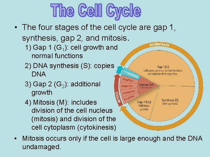 • The four stages of the cell cycle are gap 1, synthesis, gap