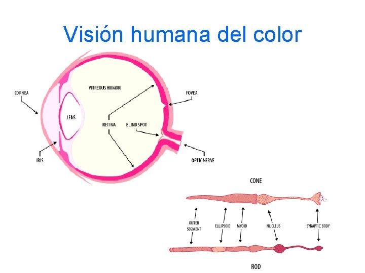Visión humana del color
