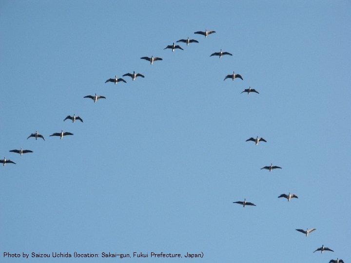 Flying Geese 1 Photo by Saizou Uchida (location: Sakai-gun, Fukui Prefecture, Japan)