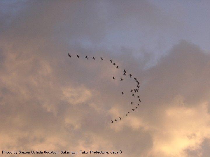 Flying Geese 3 Photo by Saizou Uchida (location: Sakai-gun, Fukui Prefecture, Japan)