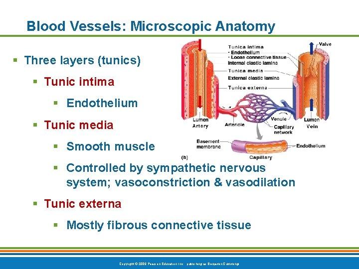 Blood Vessels: Microscopic Anatomy § Three layers (tunics) § Tunic intima § Endothelium §