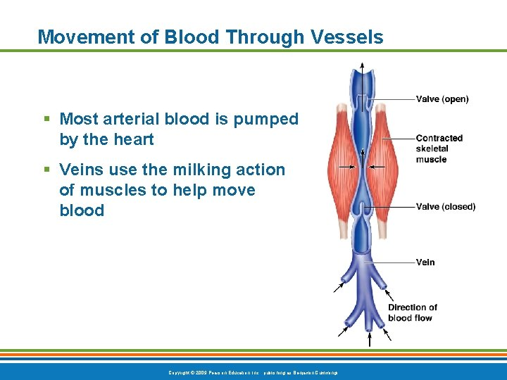 Movement of Blood Through Vessels § Most arterial blood is pumped by the heart