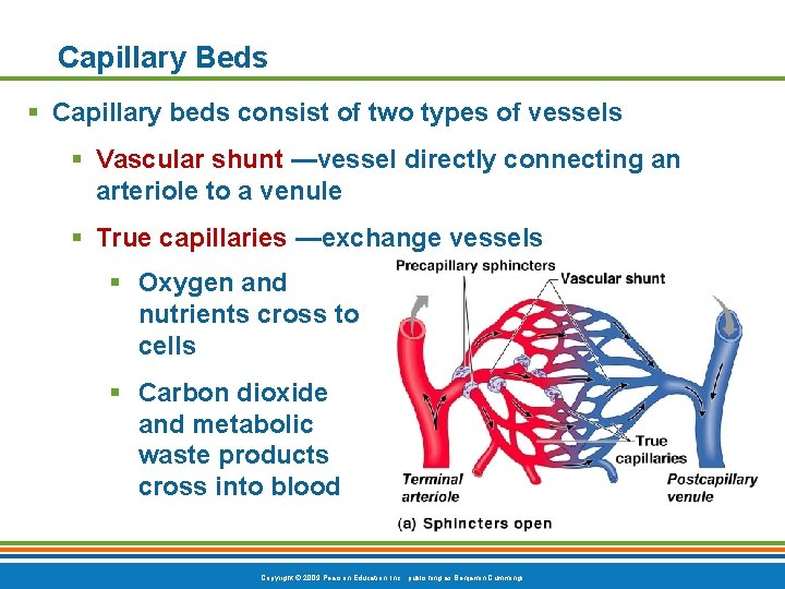 Capillary Beds § Capillary beds consist of two types of vessels § Vascular shunt