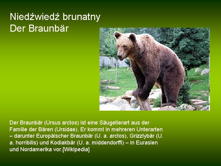 Niedźwiedź brunatny Der Braunbär (Ursus arctos) ist eine Säugetierart aus der Familie der Bären