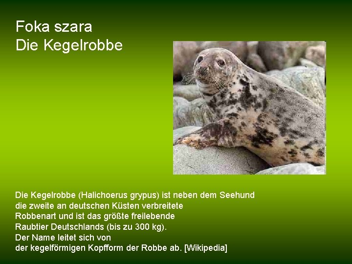 Foka szara Die Kegelrobbe (Halichoerus grypus) ist neben dem Seehund die zweite an deutschen