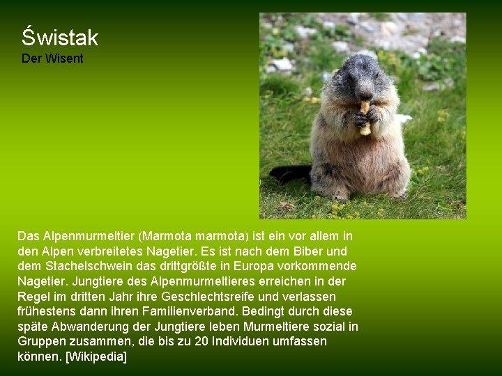 Świstak Der Wisent Das Alpenmurmeltier (Marmota marmota) ist ein vor allem in den Alpen