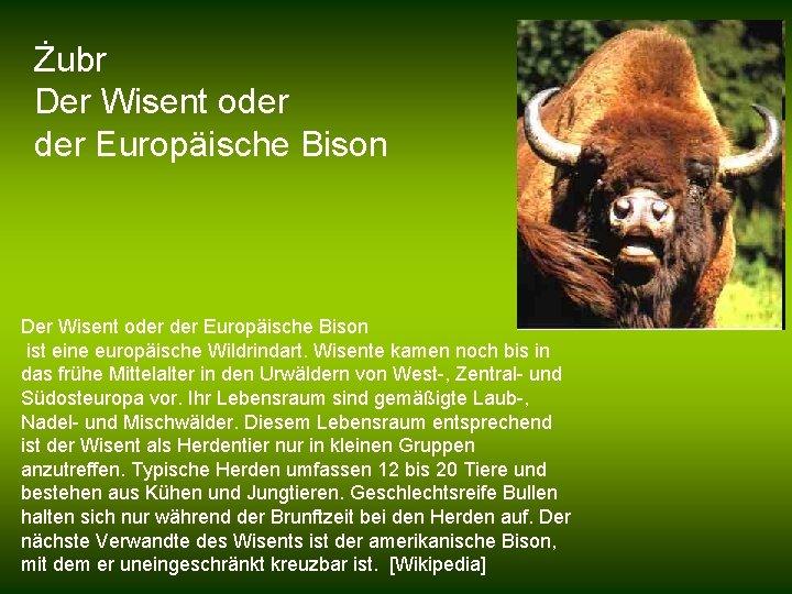 Żubr Der Wisent oder der Europäische Bison ist eine europäische Wildrindart. Wisente kamen noch