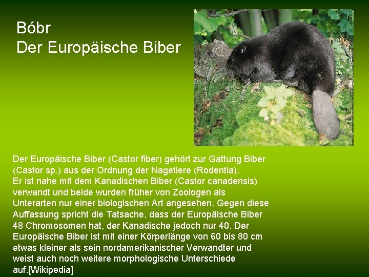 Bóbr Der Europäische Biber (Castor fiber) gehört zur Gattung Biber (Castor sp. ) aus