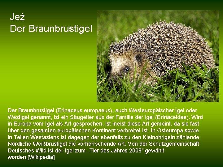 Jeż Der Braunbrustigel (Erinaceus europaeus), auch Westeuropäischer Igel oder Westigel genannt, ist ein Säugetier