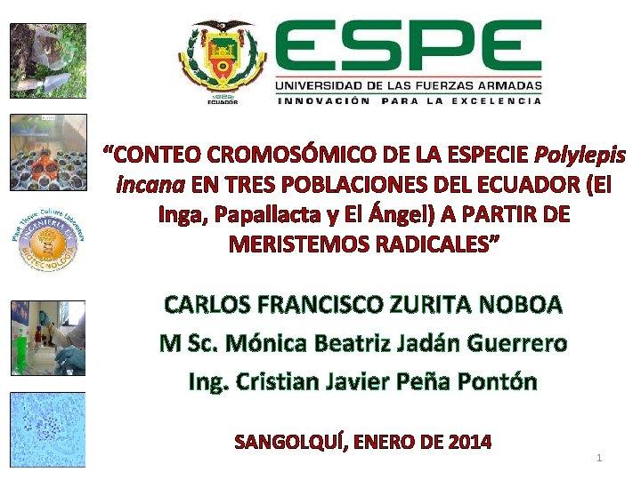 """""""CONTEO CROMOSÓMICO DE LA ESPECIE Polylepis incana EN TRES POBLACIONES DEL ECUADOR (El Inga,"""